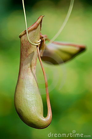 Free A Picture Plant (Nepenthaceae) Royalty Free Stock Image - 10867676