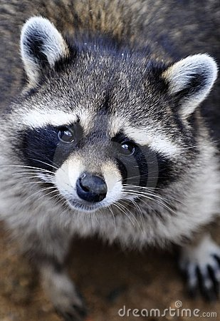 Free A Poor Cute Raccoon Royalty Free Stock Photos - 20605008