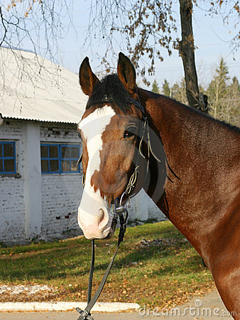 Free A Portrait Of Orlov Trotter Stock Photo - 305200