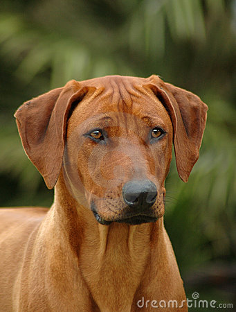 Free A Rhodesian Ridgeback Royalty Free Stock Photography - 973727
