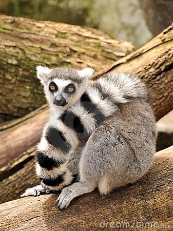 Free A Ring-tailed Lemur Is Sitting On A Tree Trunk Royalty Free Stock Photo - 17096495