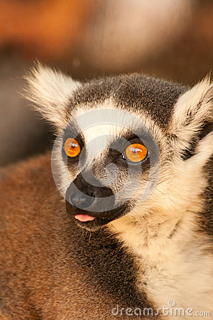 Free A Ring Tailed Lemurs Prosimians In The Sun Stock Photos - 33035963