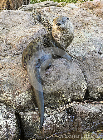 Free A River Otter Dries Out On A Rock Royalty Free Stock Photo - 46591325