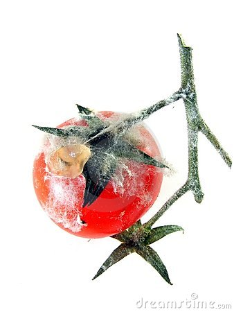 Free A Rotten Tomato On The Vine Stock Images - 19077654