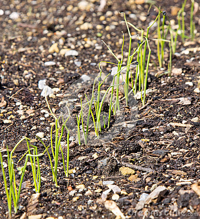 Free A Row Of Young Onion Plants Stock Photography - 41980712
