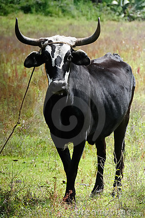 Free A Single Black Ox Royalty Free Stock Images - 20045309
