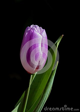 Free A Single Piece Of Tulip With Leaf Stock Photos - 112624413