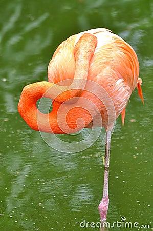 Free A Sleeping Flamingo Bird Stock Image - 14457721