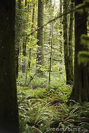 Free A Small Fir Sapling In The Dense Green Lush Forest Stock Photography - 3610492