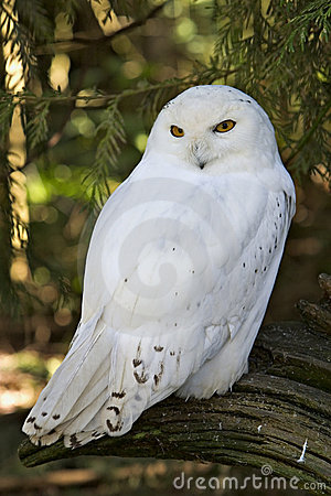 Free A Snowy White Owl Royalty Free Stock Photography - 15046647