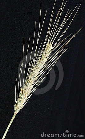Free A Spike Of Wheat Stock Images - 2806754