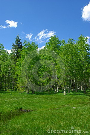 Free A Spring Meadow And Aspen Trees Royalty Free Stock Photo - 5323805