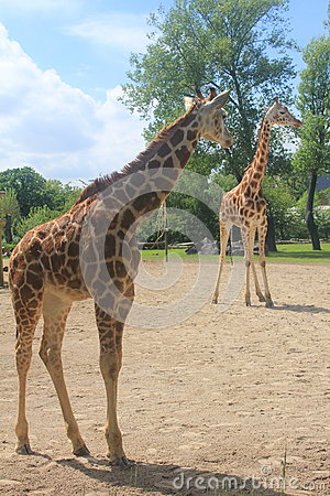 Free A Tall Giraffe In The Chester Zoo Stock Image - 93724611