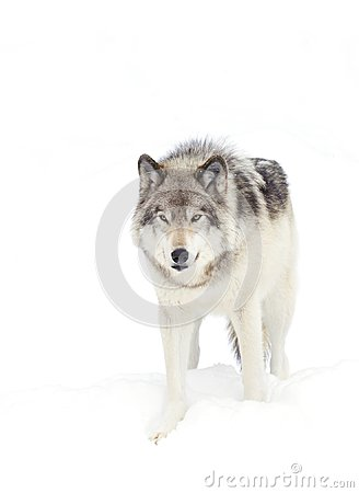 Free A Timber Wolf Canis Lupus Standing In The Winter Snow Royalty Free Stock Photos - 105064228
