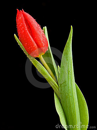 Free A Tulip On Black. Stock Photo - 12685320