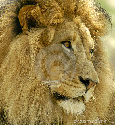 Free A Very Handsome Male Lion Gazing For Prey In The Distance. Stock Images - 17223664