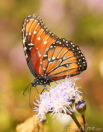 Free A Viceroy Butterfly, A Monarch Mimic Stock Images - 16909244