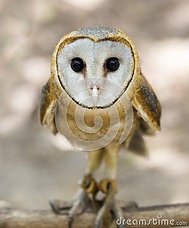 Free A Wild Barn Owl Stock Photos - 41404343