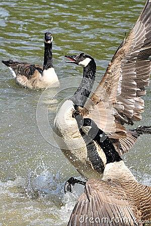 Free A Wild Gooses Royalty Free Stock Photo - 14334965