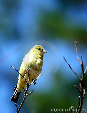 Free A Yellow-bellied Bird Resting On A Tree Branch Royalty Free Stock Image - 11364046