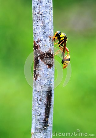 Free A Yellow Jacket Hornet Bee Royalty Free Stock Photos - 133637798