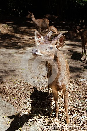 Free A Young Bawean Deer Waiting For Food Stock Photos - 132602653