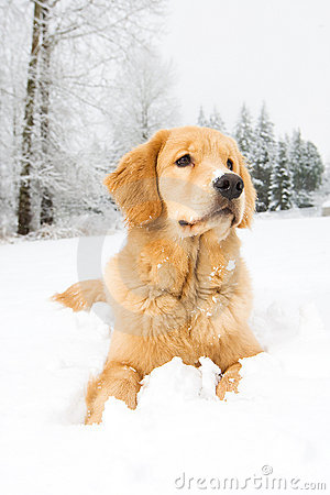 Free A Young Golden Retriever Dog Laying Down In Snow Royalty Free Stock Image - 22871276
