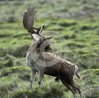 Free A Young Male Deer With A Face Full Of Grass Stock Photo - 116025510