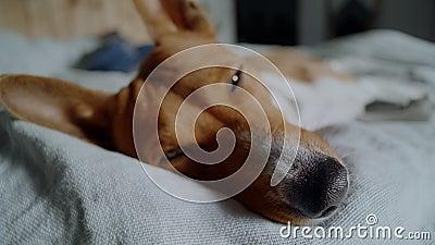 Aanbiddelijke leuke puppydalingen in slaap in zon stock footage
