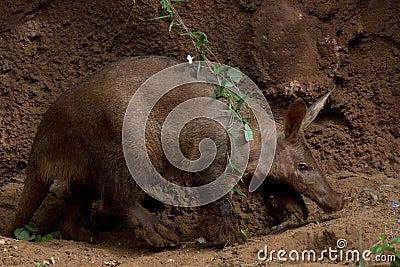 Aardvark Walking