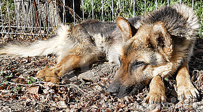 Abandoned dog, german shepherd