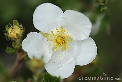 Abbotswood Flower