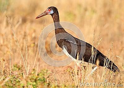 Abdim s Stork