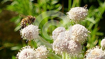 Abeille de miel rassemblant le pollen sur une fleur banque de vidéos