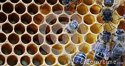 Abeille européenne de miel, apis mellifera, abeille émergeant de la cellule, ruche d'abeille en Normandie, en temps réel clips vidéos
