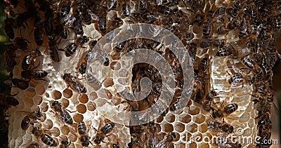 Abeille européenne de miel, apis mellifera, abeilles noires sur une raie sauvage, alveole remplie de miel, ruche d'abeilles en No banque de vidéos