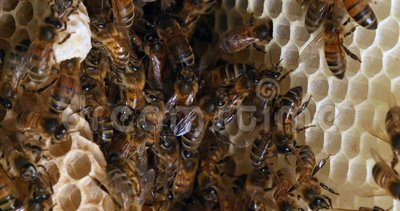 Abeille européenne de miel, apis mellifera, abeilles sur un rayon sauvage, abeilles travaillant sur Alveolus, cellule de la reine clips vidéos