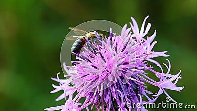 Abeille extrayant le nectar à partir de la fleur de chardon banque de vidéos