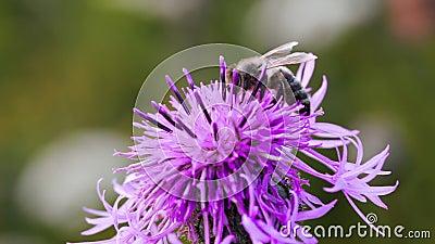 Abeille rassemblant le nectar de la fleur de chardon banque de vidéos