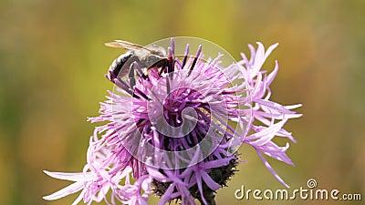 Abeille recueillant le nectar de la fleur de chardon clips vidéos