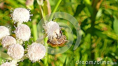 Abeja de la miel que recoge el polen en una flor almacen de video