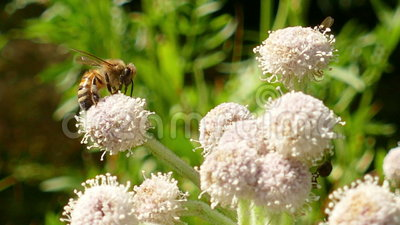 Abeja de la miel que recoge el polen en una flor almacen de metraje de vídeo