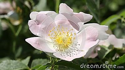 Abeja en una flor rosada
