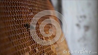 Abeja que recolecta la miel