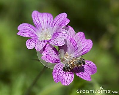 Abeja robusta púrpura del geranio y de la miel