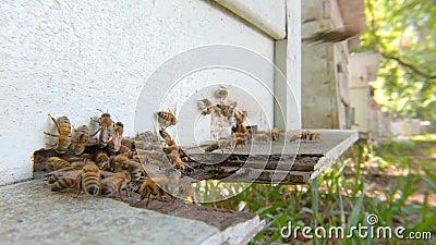 Abejas que vuelan alrededor de la agricultura de abejas almacen de metraje de vídeo