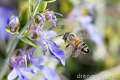 abelha-que-voa-%C3%A0s-flores-azuis-5131814.jpg