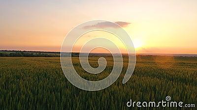 Abendweizenfeld bei Sonnenuntergang stock video footage