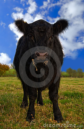 Free Aberdeen Angus Cow Stock Image - 4800281