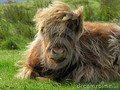 Aberdeen Angus, Highland Cow